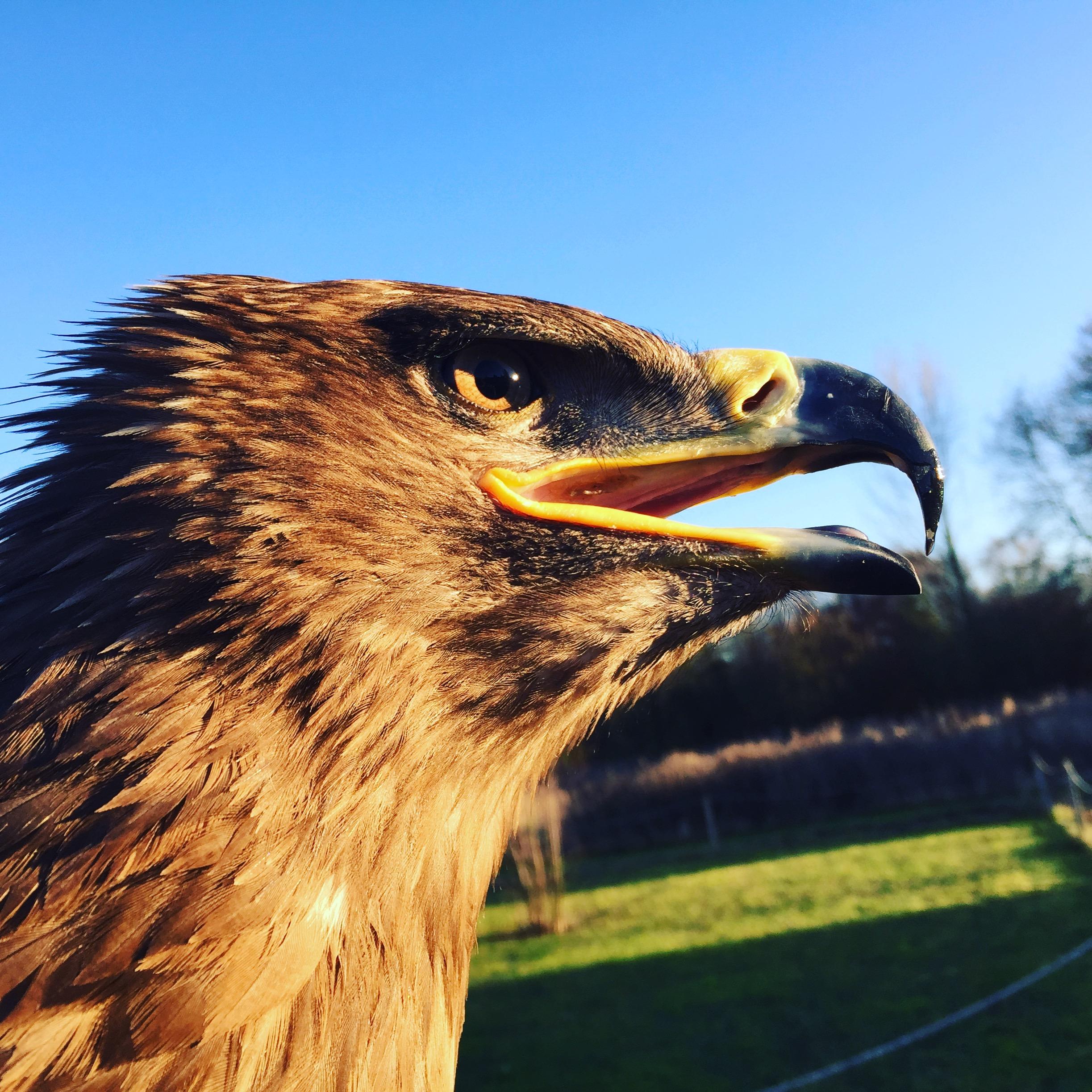 Steppe Eagle Profile