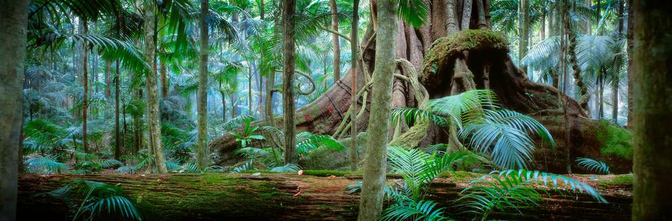 Ancient Fig - Binna Burra Resort