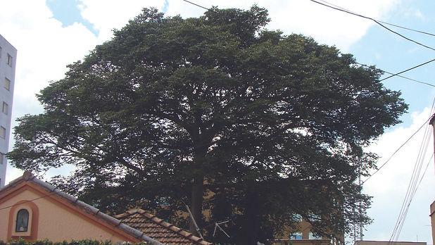 8. Jatoba, Rua Lourdes Rabello, 2011. El