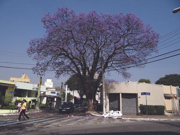 7. Jacarandá Mimoso, 2011. Elton Soares