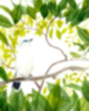 Bali Starling001.jpg