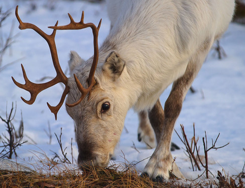 Reindeer spottet on Discover the Fjords sightseeing tour from Tromsø - tours guided by The Green Adventure.