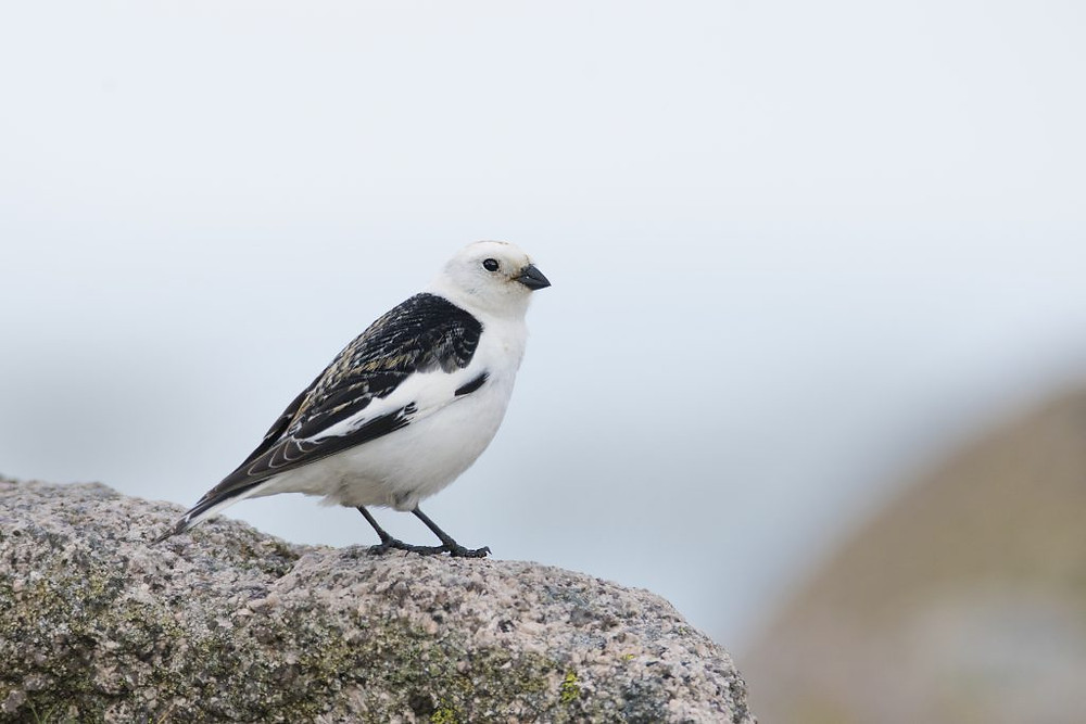 Snow bunting fly quickly over the rocks and snow