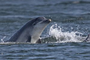 Bottlenose Dolphin (Mark Fisher)