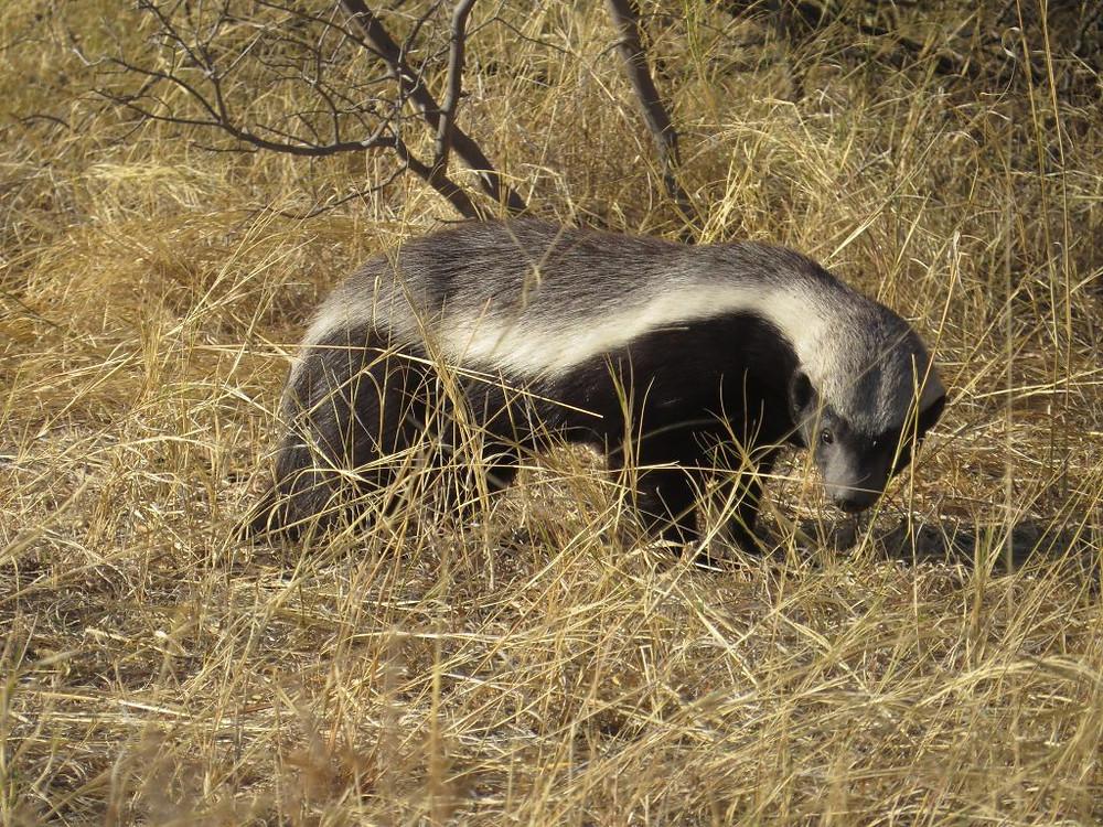 honey badger, botswana