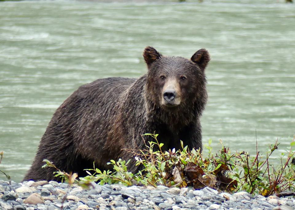 grizzly bear, british columbia