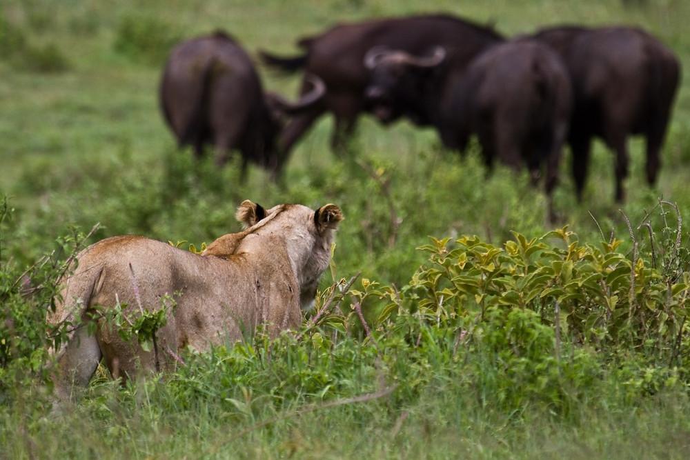 Lion hunting (Zul Bhatia)