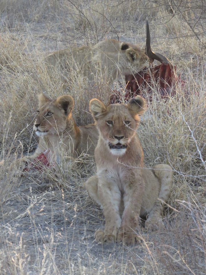 lion cubs, botswana