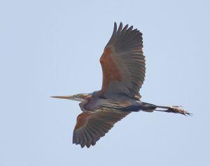 Purple Heron (Brooke A Miller)
