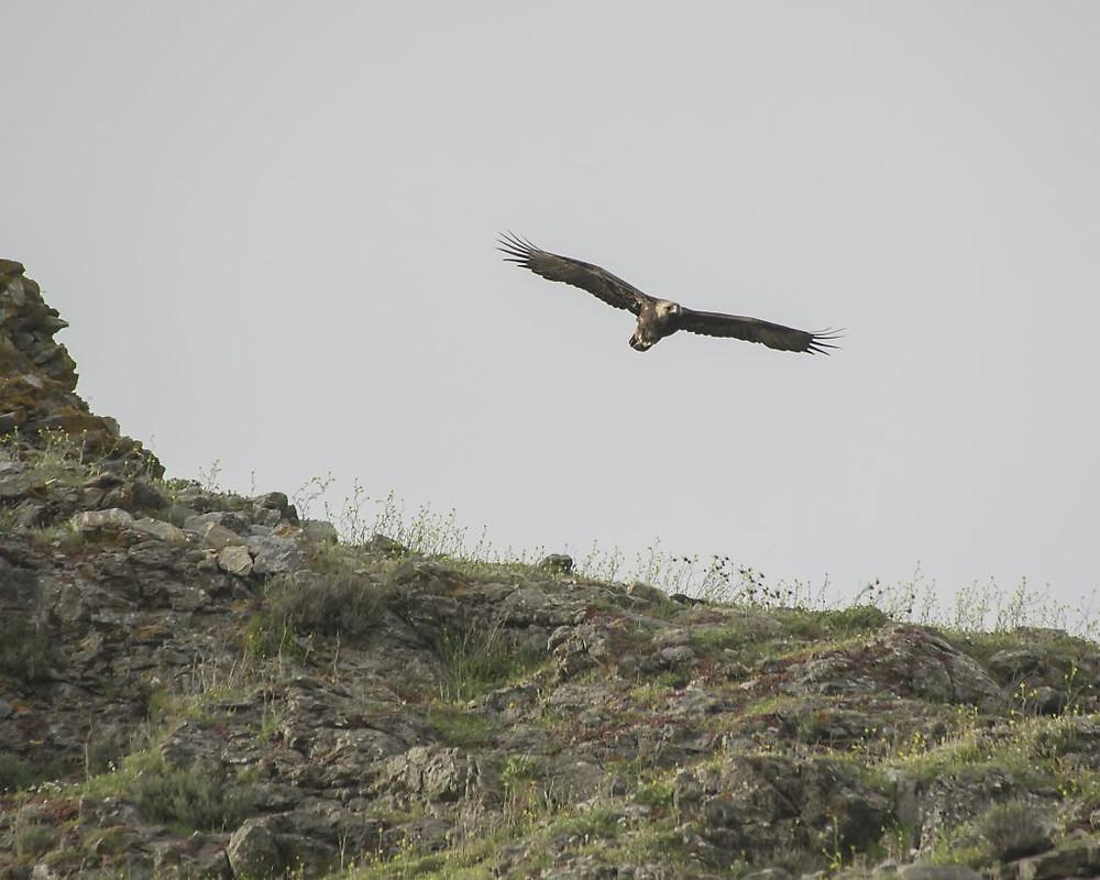 Golden Eagle flying low