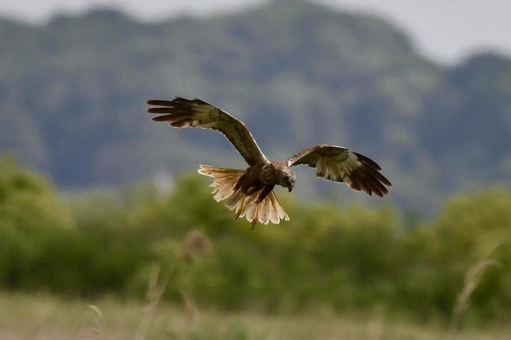 Male Marsh Harrier (Chris Piper)