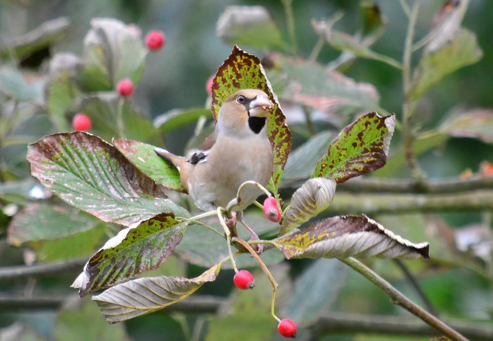 Hawfinch eating Rowan berries
