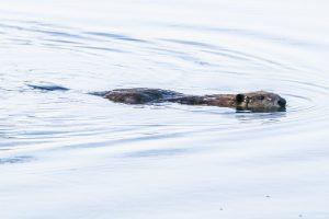 Beaver (Duncan Macdonald)