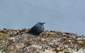 Blue Rock Thrush (Simon Eaves)