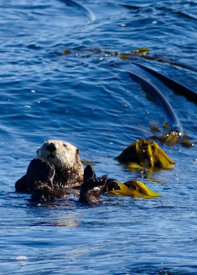 sea otter, british columbia