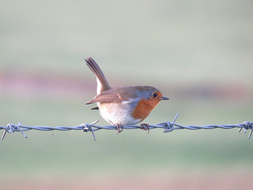 A perky Robin on a wire