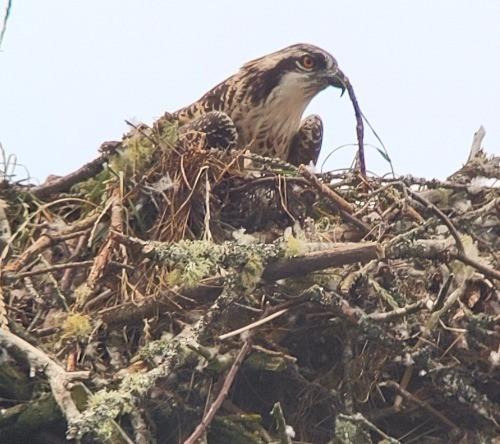 Osprey sitting on a nest