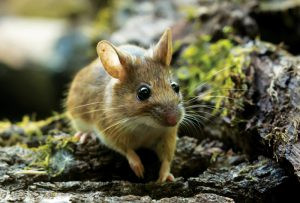 Wood Mouse (Mary Braddock)