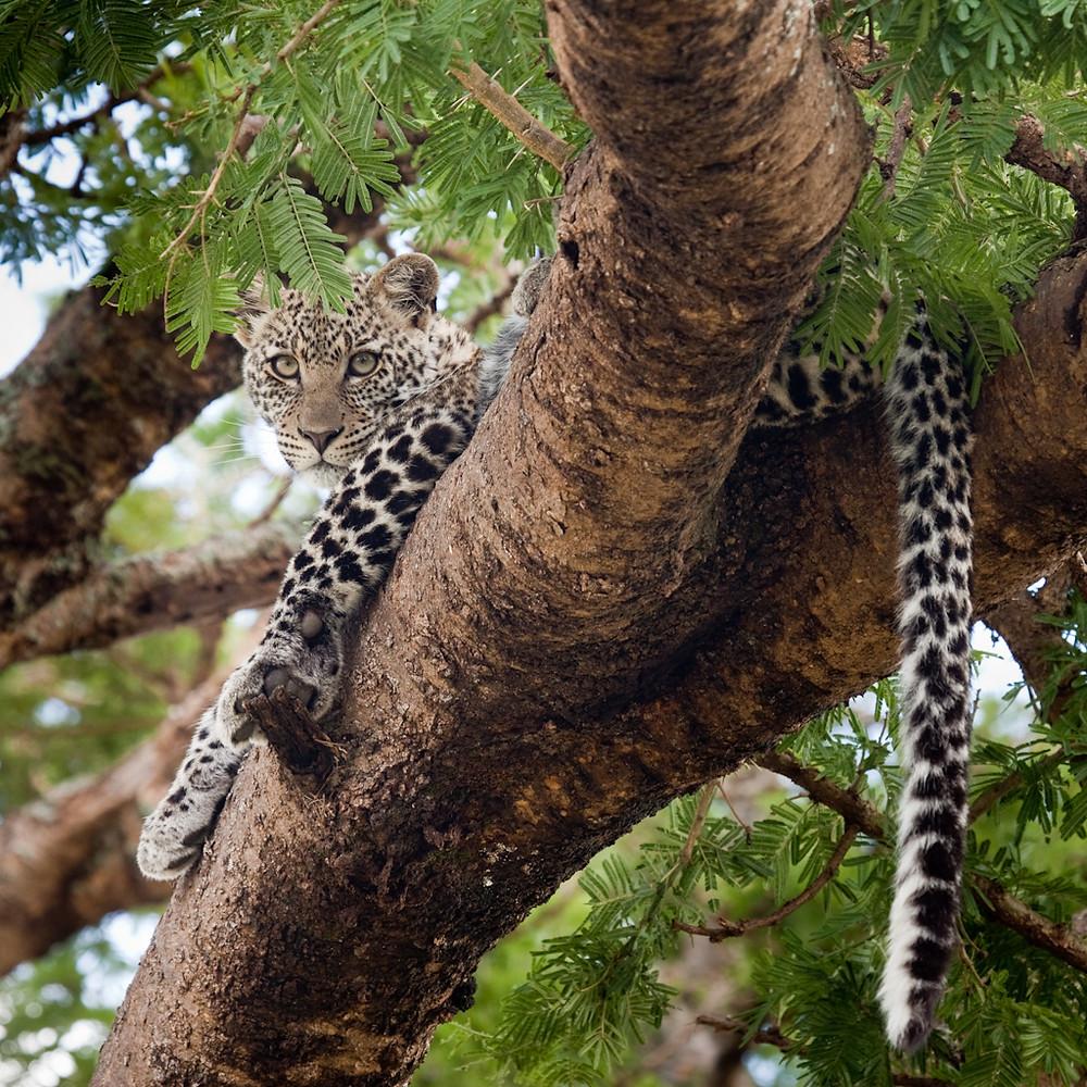 Leopard Zul Bhatia