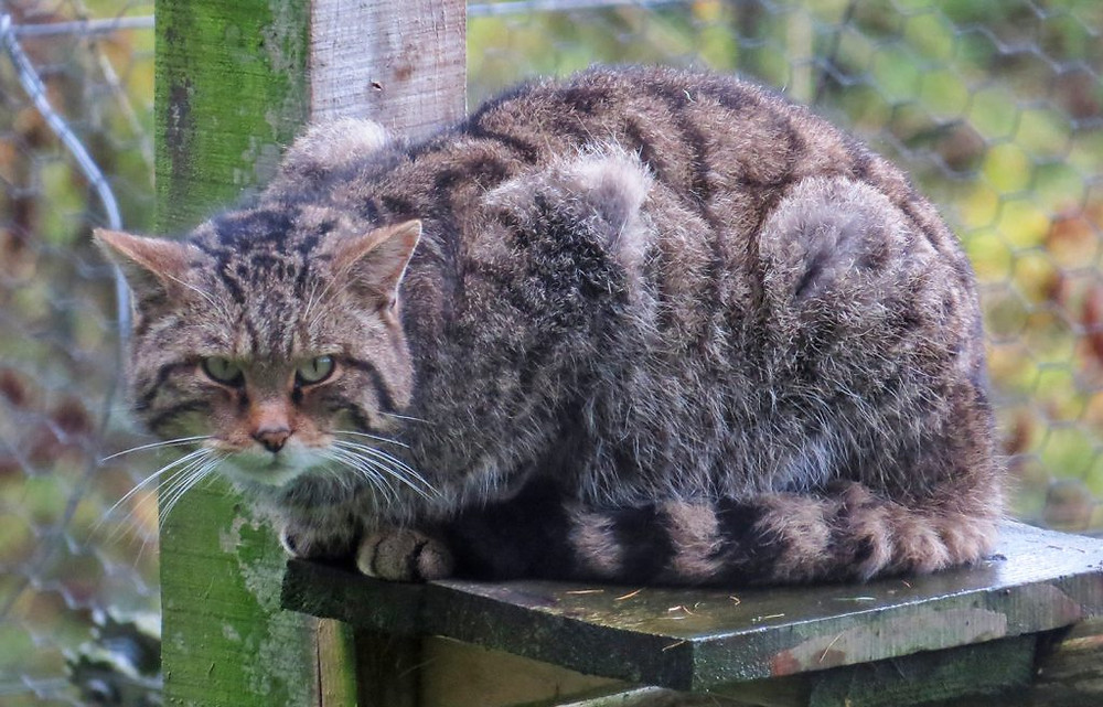 Scottish Wildcat breeding programme