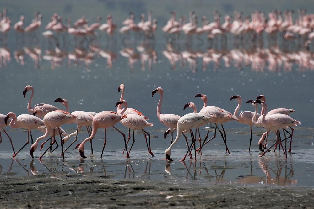 Lesser Flamingos (Zul Bhatia)