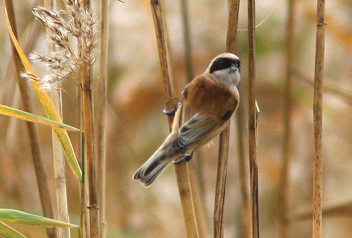 Penduline Tit on reeds