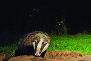 Young Badger (Jack Perks)