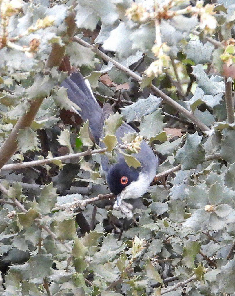 Sardinian Warbler, extremadura