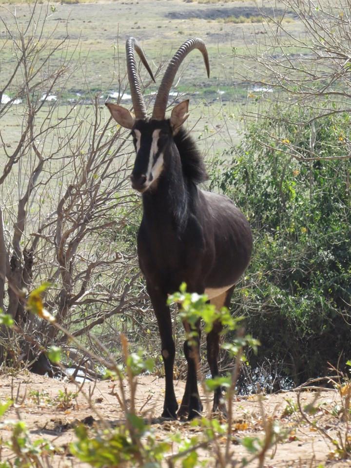sable buck, chobe, botswana