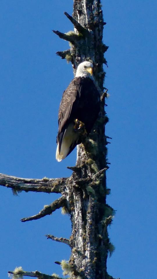 bald eagle, british columbia