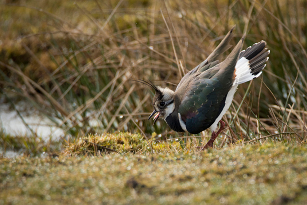 Lapwings carry out their display