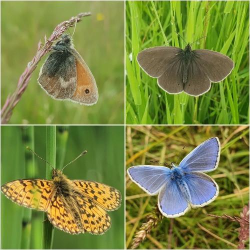 Small Heath, Ringlet, Common Blue, Pearl Bordered Fritillary butterflies