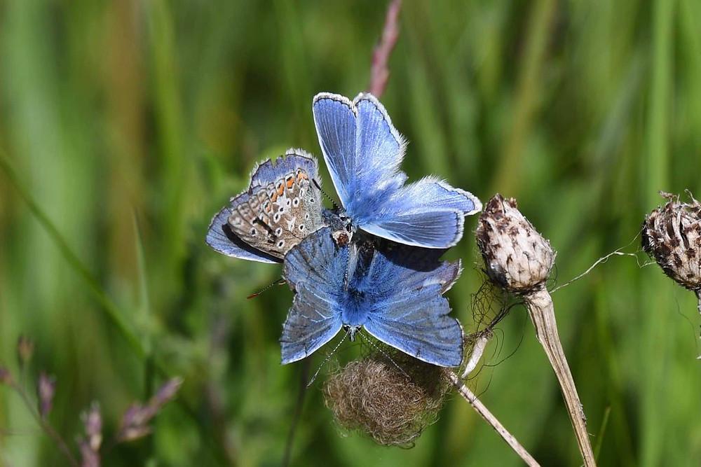 Common Blues (Chris Piper)