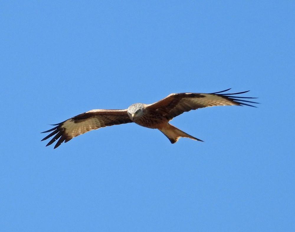 Red Kite Extremadura