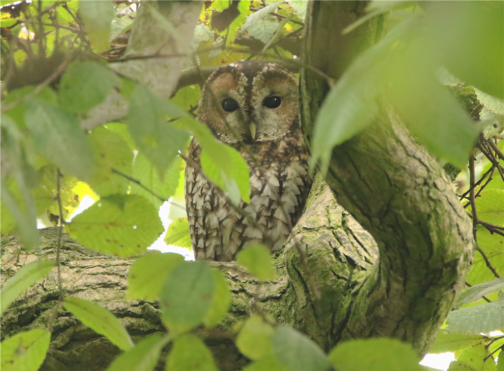 Tawny Owl perched in a green and leafy tree