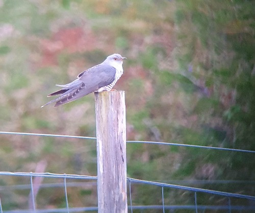 Cuckoo sitting on a fence post