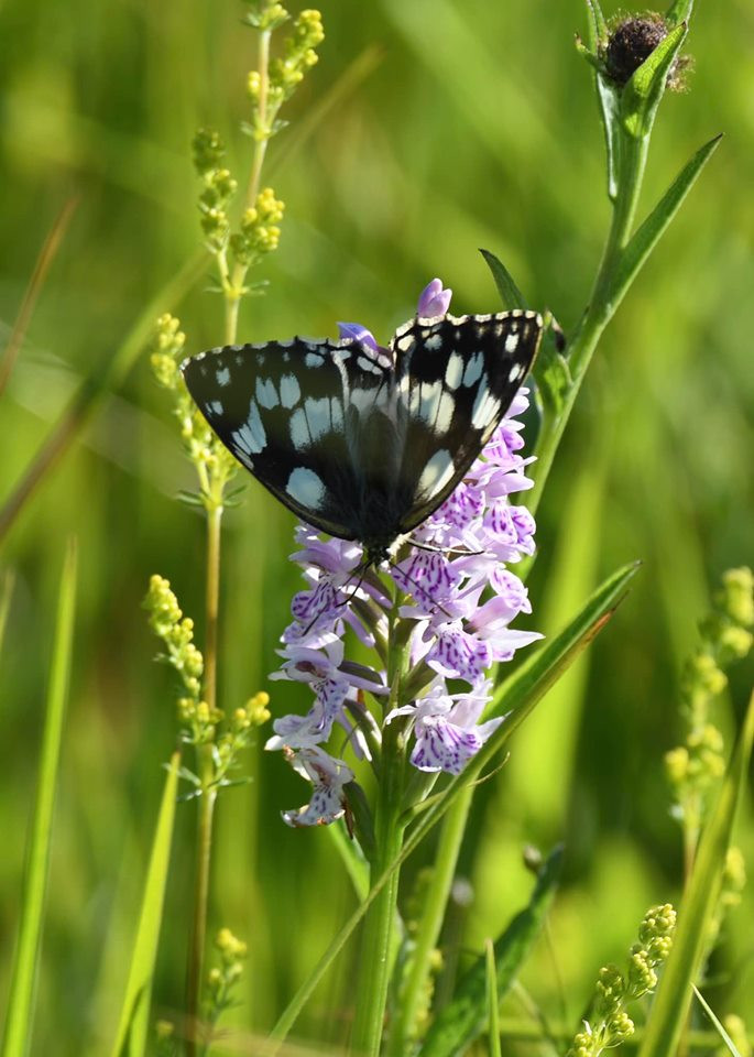 Marbled White on Common Spotted Orchid (Chris Piper)