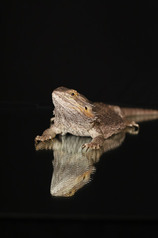 Pet Photos | Ox the Dragon | Manitowoc Family Photographer