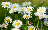 chamomile-flowers-summer-grass-herbs1st.