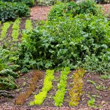 Vegetable garden successive planting