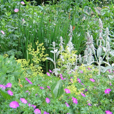 Perennial Garden with Lambs Ears and Geranium Sanguineum