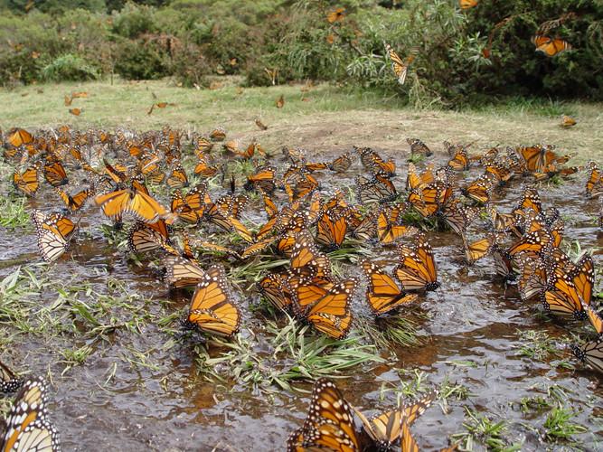 Butterflies at El Rosario Preserve