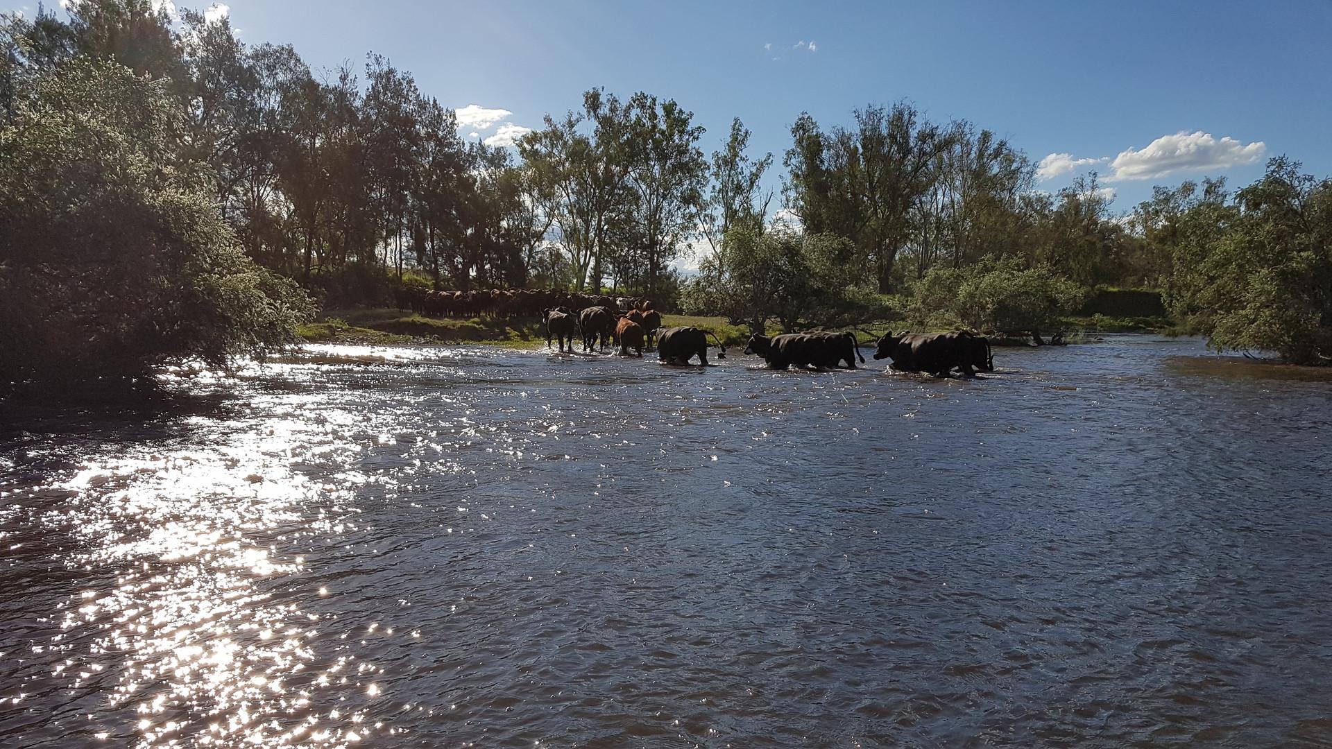 20170107_cattle crossing river.jpg