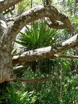 Bromelia Brasilien Adventure