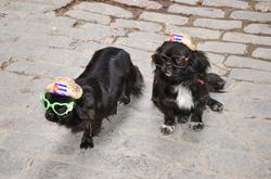 Glamorous Dogs in Old Havana