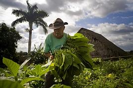 Tobacco Farm.png