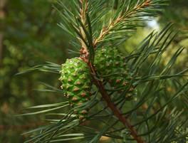 Pine Sylvestris.jpg
