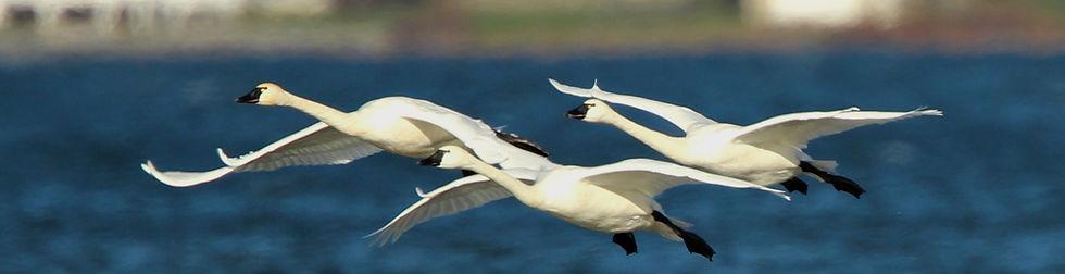 Tundra swans over Chautauqua lake NY by Terrie Johnson