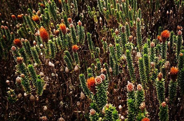 Chuquiragua bloom.jpg
