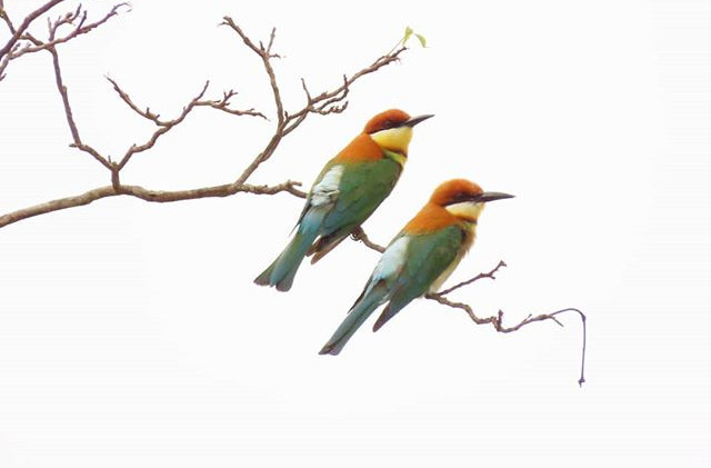 Chesnut-headed bee-eaters.